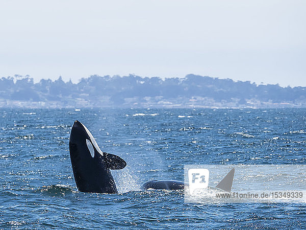 Transient killer whale (Orcinus orca) breaching in the Monterey Bay National Marine Sanctuary  California  United States of America  North America