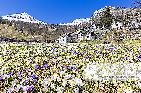 Flowering of Crocus nivea in Bosco Gurin  Vallemaggia  Canton of Ticino  Switzerland  Europe