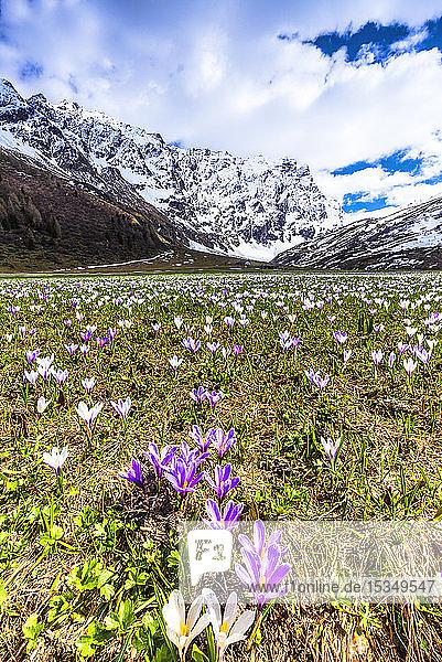 Flowering of Crocus nivea in Val Radons (Radons Valley)  Albula region  Canton of Grisons (Graubunden)  Switzerland  Europe