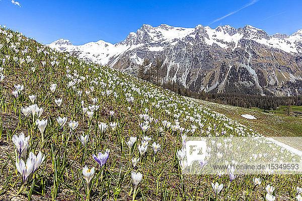 Flowering of Crocus nivea in Val Fex (Fex Valley)  Engadine  Canton of Grisons (Graubunden)  Switzerland  Europe