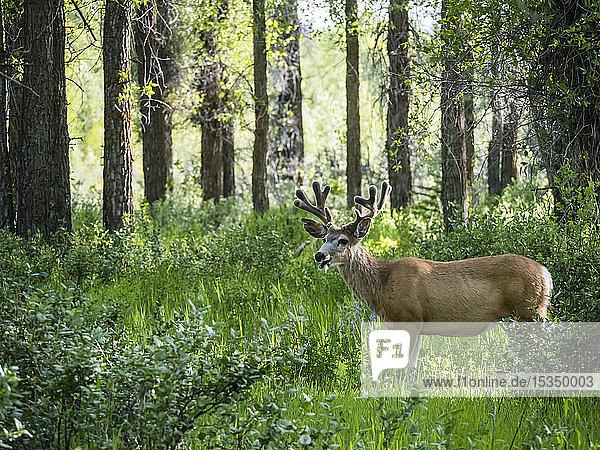 Young mule deer (Odocoileus hemionus) buck in velvet  Gros Ventre  Grand Teton National Park  Wyoming  United States of America  North America