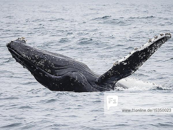 Humpback whale (Megaptera novaeangliae) breaching in the Monterey Bay National Marine Sanctuary  California  United States of America  North America