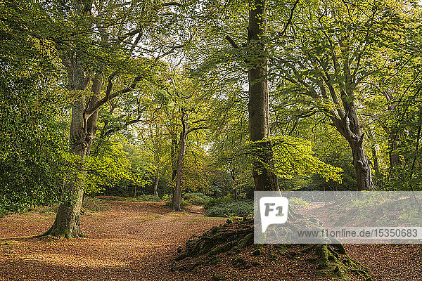 Deciduous woodland near the village of Burley in morning sunlight  New Forest National Park  Hampshire  England  United Kingdom  Europe