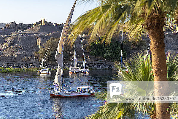 Traditional Felucca sailboats with wooden masts and cotton sails on the River Nile  Aswan  Egypt  North Africa  Africa