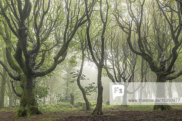 Deciduous trees on a foggy morning  North Cornwall  England  United Kingdom  Europe