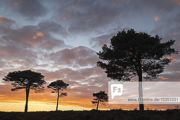 Scots Pine trees silhouetted against a sunset sky on New Forest heathland  Hampshire  England  United Kingdom  Europe