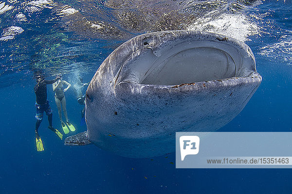 Snorkellers with a juvenile whale shark (Rhincodon typus) feeding at the suface in Honda Bay  Palawan  The Philippines  Southeast Asia  Asia