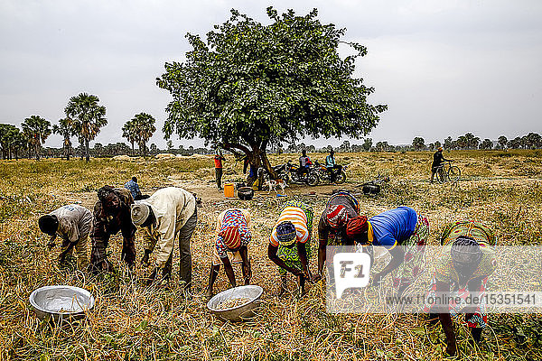 Bean harvest in Djibomben village  North Togo  West Africa  Africa