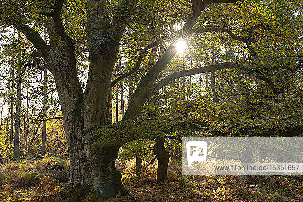 Magnificent mature pollarded beech tree in Bolderwood on a sunny autumnal afternoon  New Forest National Park  Hampshire  England  United Kingdom  Europe