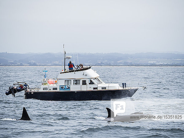 Adult killer whales (Orcinus orca) near research boat in the Monterey Bay National Marine Sanctuary  California  United States of America  North America