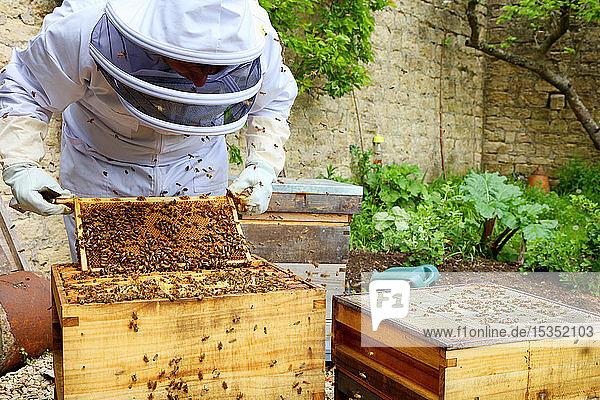 Male beekeeper inspecting honeycomb frame in walled garden