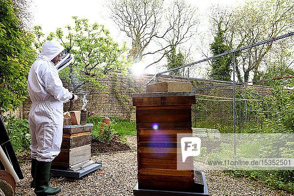 Male beekeeper tending beehives in walled garden