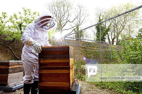 Male beekeeper removing beehive lid in walled garden