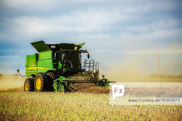 A farmer harvesting canola with a combine on a swathed field; Legal  Alberta  Canada