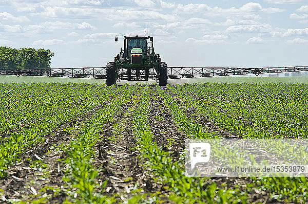 A high clearance sprayer gives a ground chemical application of herbicide to early growth feed/grain corn  near Steinbach; Manitoba  Canada