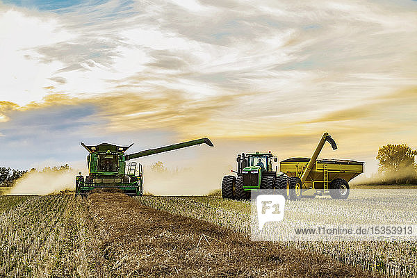Canola harvesting and transferring the seeds to a grain buggy pulled by a tractor at sunset; Legal  Alberta  Canada
