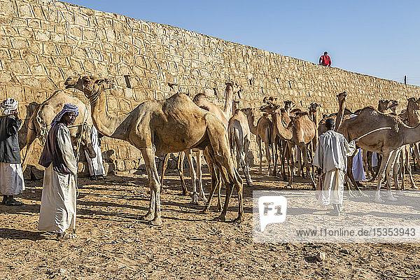 Camels at the Monday livestock market; Keren  Anseba Region  Eritrea