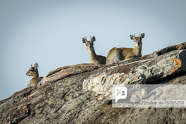Three klipspringer (Oreotragus oreotragus) and rock hyrax (Procavia capensis) on rock  Serengeti National Park; Tanzania
