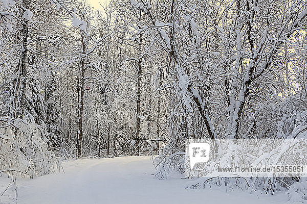 Snow-covered trees with pathway and glowing sky at sunrise; Thunder Bay  Ontario  Canada