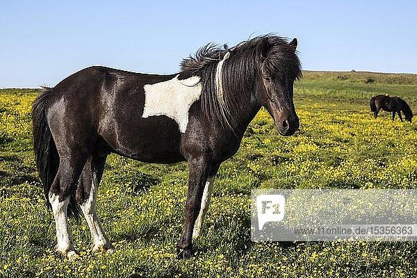 Islandpferd (Equus islandicus) auf einer blühenden Wiese  Island  Europa