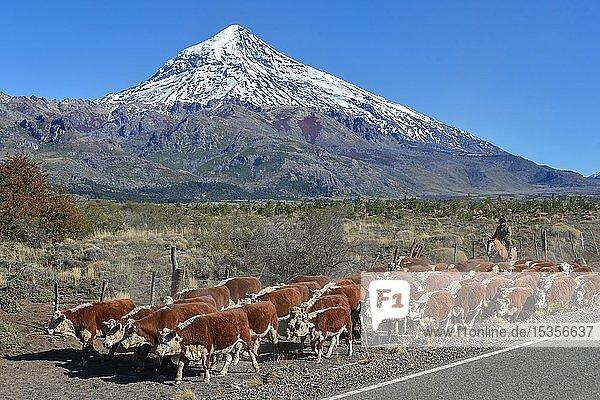 Rinderherde mit Gaucho am Straßenrand vor Schneebedeckter Vulkan Lanin  zwischen San Martin de los Andes und Pucon  Nationalpark Lanin  Patagonien  Argentinien  Südamerika