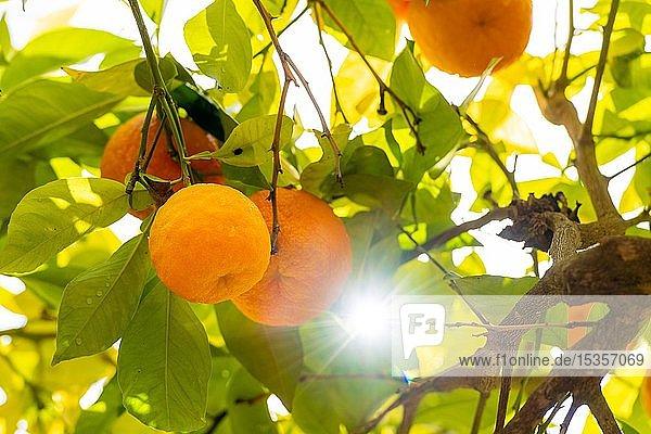 Reife Orangen im Gegenlicht  Granada  Spanien  Europa