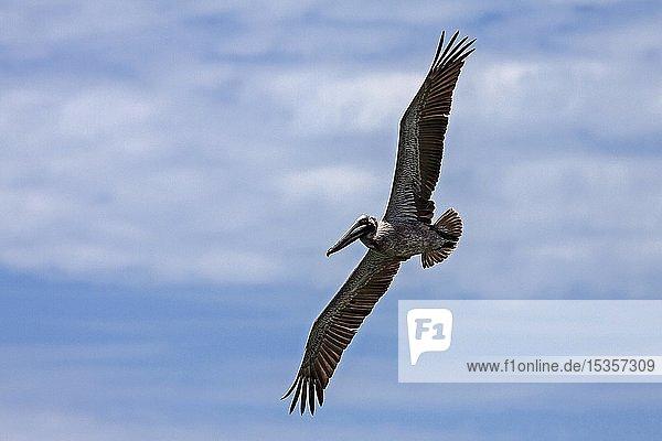 Brauner Pelikan (Pelecanus occidentalis) im Flug  Playa Samara  Samara  Halbiinsel Nicoya  Provinz Guanacaste  Costa Rica  Mittelamerika
