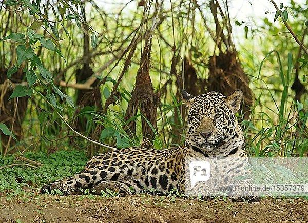 Jaguar (Panthera onca) liegt am Flussufer  Pantanal  Mato Grosso  Brasilien  Südamerika