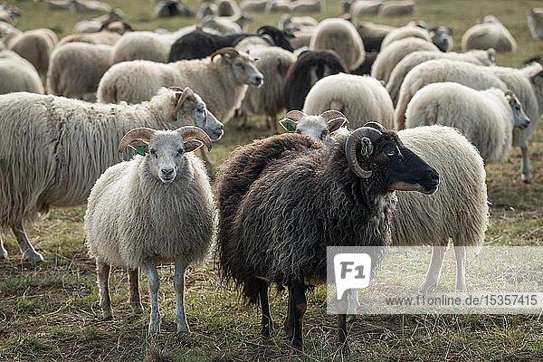 Schafe (Ovis aries)  Herde  Schafabtrieb oder Réttir  bei Laugarbakki  Nordisland  Island  Europa