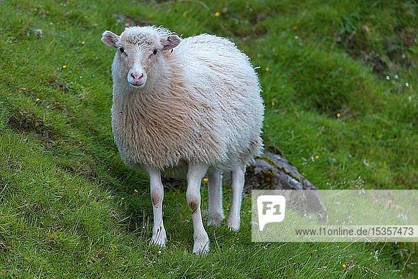 Schaf (Ovis aries)  Färöer-Inseln  Føroyar  Dänemark  Europa