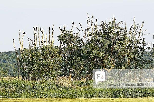 Kormorane (Phalacrocorax carbo)  Kolonie  ruhen auf Bäumen am Ufer des Schmollensee  Insel Usedom  Mecklenburg-Vorpommern  Deutschland  Europa