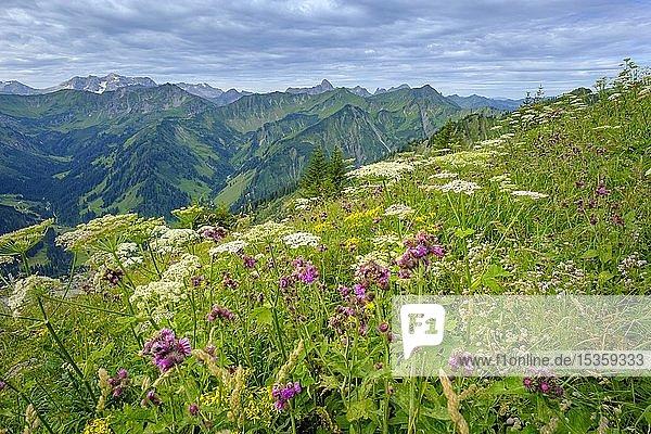 Alpenblumen Lehrpfad am Gipfel  Walmendinger Horn  Kleinwalsertal  Allgäuer Alpen  Allgäu  Vorarlberg  Österreich  Europa