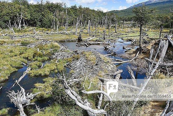 Sumpfland mit abgestorbenen Bäumen  Nationalpark Tierra del Fuego  Feuerland  Argentinien  Südamerika