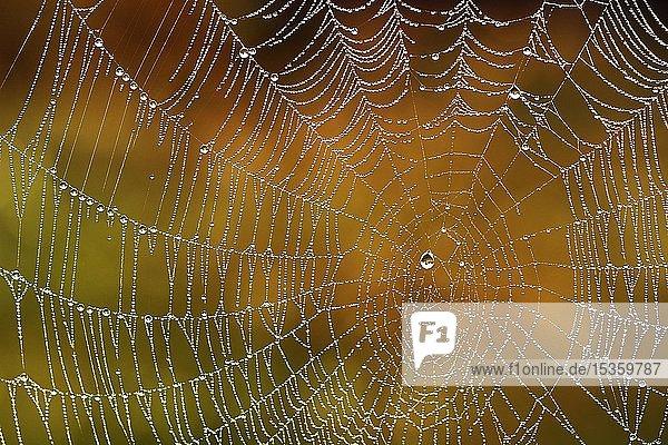 Spinnennetz mit Tautropfen  Deutschland  Europa