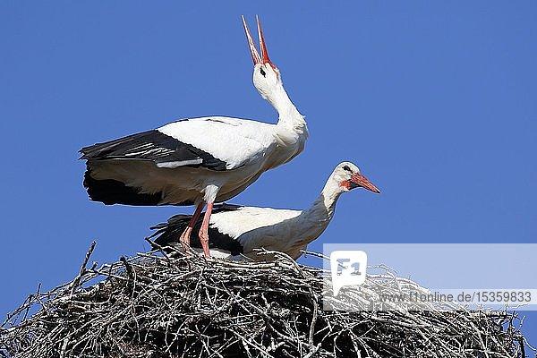 Weißstörche (Ciconia ciconia)  Brutpaar im Nest klappert zur Begrüßung  Storchendorf Rühstädt  Brandenburg  Deutschland  Europa