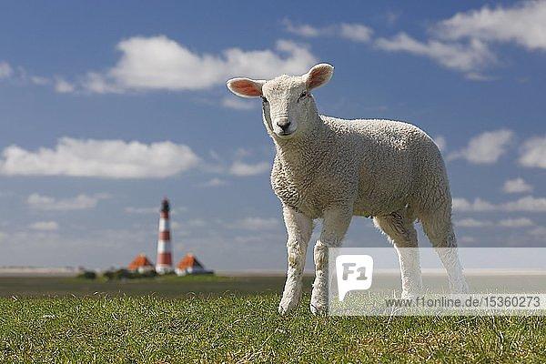 Hausschaf (Ovis gmelini aries)  Lamm steht auf Deich vor Leuchtturm Westerheversand  Nordseedeich  Westerhever  Halbinsel Eiderstedt  Schleswig-Holstein  Deutschland  Europa
