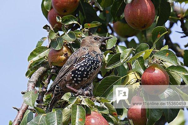 Star (Sturnus vulgaris)  Jungvogel sitzt singend in Birnenbaum  Insel Usedom  Mecklenburg-Vorpommern  Deutschland  Europa