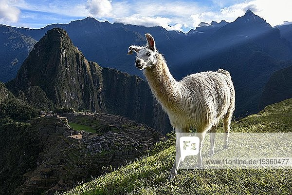 Lama (Lama glama) vor Machu Picchu  Aguas Calientes bei Cusco  Anden  Peru  Südamerika