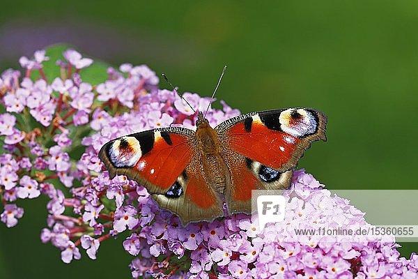 Tagpfauenauge (Aglais io) (Inachis io)  Schmetterling auf Blüten vom Schmetterlingsflieder (Buddleja davidii)  Schleswig-Holstein  Deutschland  Europa