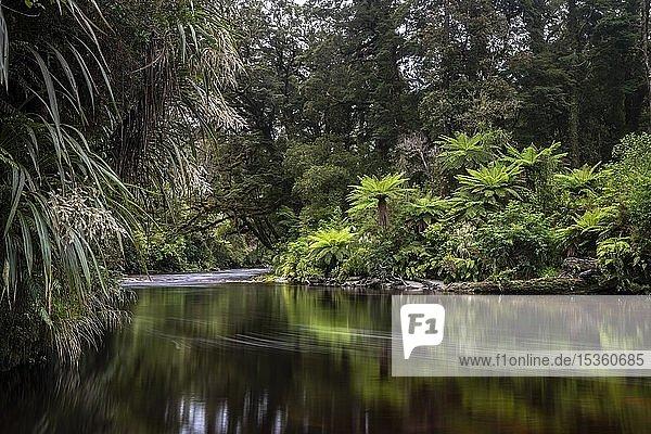 River flows through rainforest with Tree fern (Cyatheales)  Oparara River  Oparara Basin  Kahurangi National Park  Karamea  West Coast Region  South Island  New Zealand  Oceania
