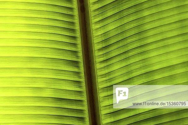 Bananenblatt im Gegenlicht  Detailaufnahme  Costa Rica  Mittelamerika