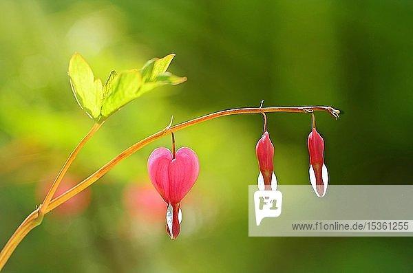 Blüte  tränendes Herz (Lamprocapnos spectabilis)  Deutschland  Europa