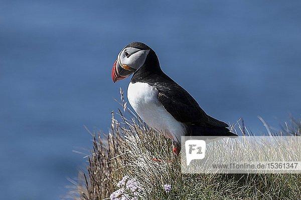 Papageitaucher (Fratercula arctica)  steht im Gras  Vogelfelsen Latrabjard  Westfjorde  Island  Europa