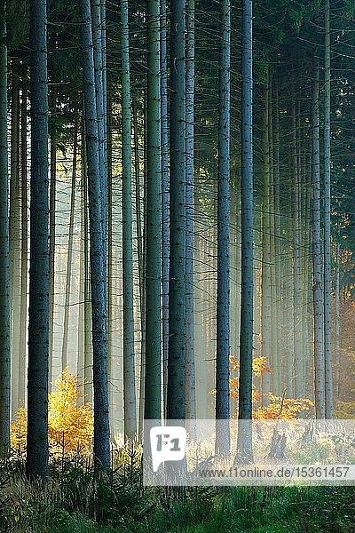 Lichtdurchfluteter Fichtenwald (Picea) im Herbst  Harz  Sachsen-Anhalt  Deutschland  Europa