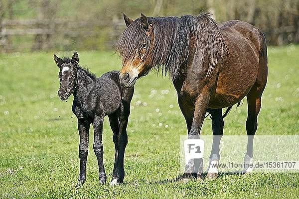 Domestic horses  mare with foal on the pasture  Germany  Europe