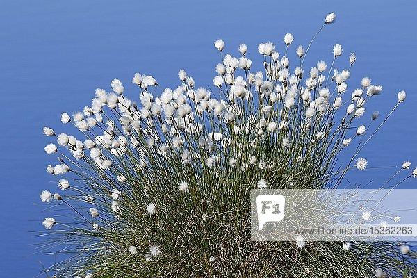 Blühendes Scheidiges Wollgras (Eriophorum vaginatum)  Bult auf Torfboden im Moor  Himmelmoor  Schleswig-Holstein  Deutschland  Europa