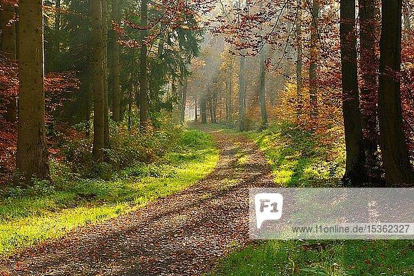 Wanderweg durch sonnigen Wald im Herbst  Sonnenstrahlen scheinen durch Morgennebel  Reinhardswald  Hessen  Deutschland  Europa