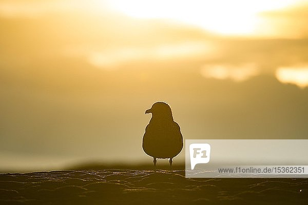 Silhouette einer Großen Raubmöwe (Stercorarius skua) am Strand  Jökulsarlon  Südisland  Island  Europa