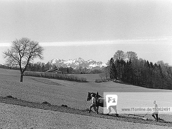 Feldbestellung mit Doppelscharpflug und Pferd  Ackerbau  um 1960  Samerberg  Oberbayern  Bayern  Deutschland  Europa