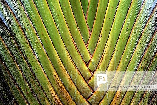 Baumstamm  Baum der Reisenden (Ravenala madagascariensis)  Ravenala-Palme  Detailansicht  La Fortune  Provinz Alajuela  Costa Rica  Mittelamerika